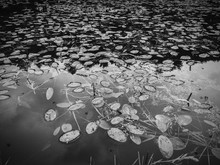 High Angle View Of Water Lilies In Lake