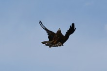 Low Angle View Of Black Kite Flying Against Clear Sky