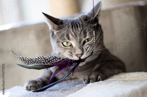 Close-up Of Cat Playing With Feathers Fototapeta