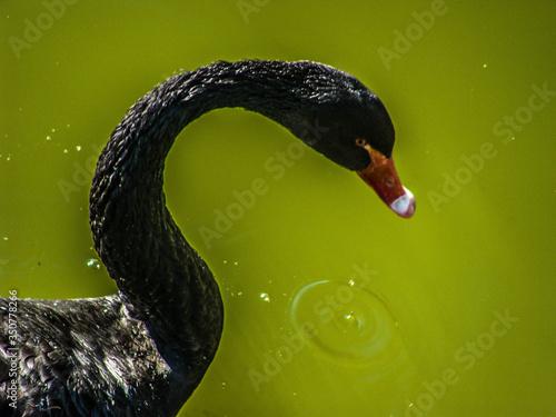 Swan Floating On Water Fototapete