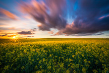 Organic Rapeseed Fields During...