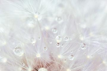 Beautiful dandelion flower, closeup view