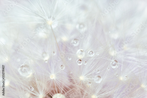 Beautiful dandelion flower, closeup view