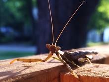 Close-up Of Praying Mantis On Wood