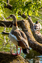 A Nil Goose Or Also Called Egyptian Goose Standing On A Tree At A Little Lake In The Mönchbruch Natural Reserve In Hesse, Germany.