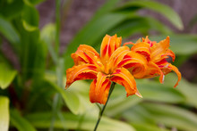 Flame Lily With Two Blooms In A Garden. It Is Bright Orange