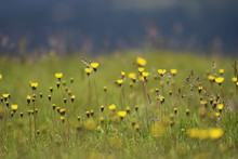 Yellow Flowers Blooming On Grassy Field
