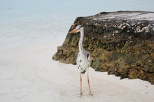 Great Blue Heron Standing At Beach By Rock