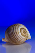 canvas print picture - Close-up Of Seashell On Blue Background