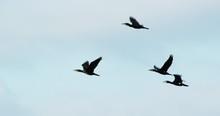 Four Birds In Flight