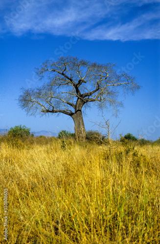 Canvas Print Baobab africain, Adansonia digitata, Parc national de Tarangire, Tanzanie