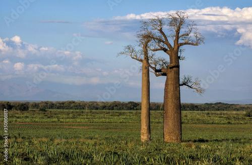 Fotografie, Obraz Baobab, adansonia zaha, Madagascar