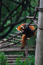 Red Panda (lesser Panda) Resting On Small Wood Rope Bridge In Research Base Of Giant Panda Breeding, Chengdu, China On A Hot, Summer Day