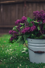 Lots Of Spring Fresh Violet Lilac Flowers In The Blue Vintage Bucket On The Green Grass And Brown Wooden Fence Background, White Petals On The Ground. Free Copy Space For Text