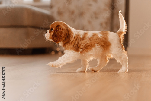 Fotografering cavalier king charles spaniel puppy walking indoors