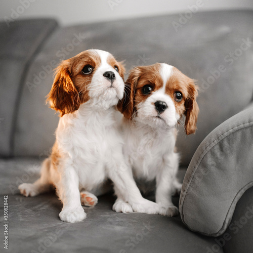 two cavalier king charles spaniel puppies posing indoors Canvas Print