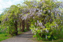 Wisteria Is A Genus Of Tall Tree-like Twigs Of Subtropical Plants From The Legume Family With Large Tassels Of Fragrant Lilac Flowers. Landscaping.