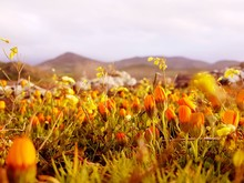 Close-up Of Yellow Poppy Flowers Growing In Field
