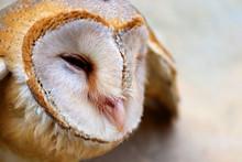 Close Up Shot Of Barn Owl Face...