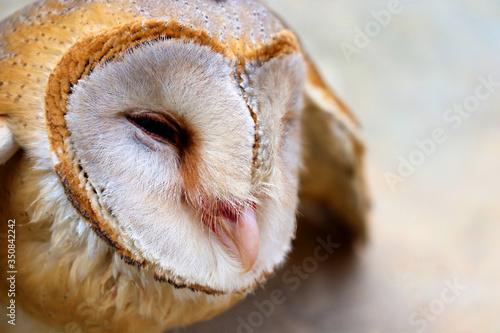 Fototapeta close up shot of barn owl face, owl face close up