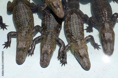 Photo High Angle View Of Alligators