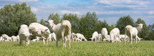 Large Herd Of White Goats In Green Grassy Meadow Under Blue Sky With White Clouds In Centre Of Holland Near Utrecht