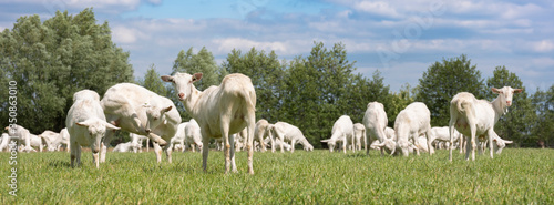 Fotomural large herd of white goats in green grassy meadow under blue sky with white cloud
