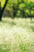 Grass Spikelets On A Sun-drenc...