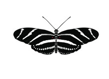 Heliconius Charithonia, The Zebra Longwing Or Zebra Heliconian, Is A Species Of Butterfly Belonging To The Subfamily Heliconiinae Of The Family Nymphalidae.