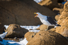 Squawking Kelp Gull On Rock In...