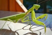 Close-up Of Praying Mantis On Table
