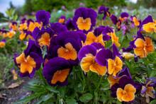 Multi-colored Flower Pansies C...