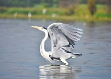 Grey Heron Bird About To Fly From Lake With Open Wings