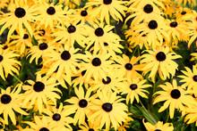Background Of Yellow Rudbeckia...