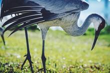 Sandhill Crane On Grassy Field
