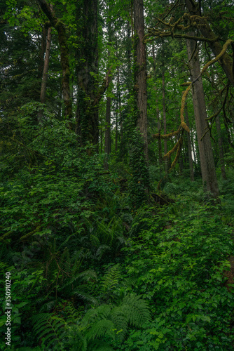 Richly lush green Pacific Northwest forest