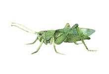 Decorative Green Grasshopper In Profile, Invertebrate Insect, Voracious Locust, Color Illustration On A White Background In Watercolor Technique