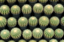 Natural Pattern Background Of A Row Of Large Succulent Cactus Plants, Round Shape, And Big Yellow Thorns In The Flower Pot. Use For Wall Decorated In The Garden Outdoors. (Echinocactus Grusonii)
