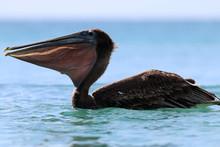 British Virgin Islands Pelicans Tortola