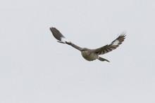 The Northern Mockingbird (Mimus Polyglottos)