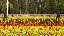Garden Of Tulips Outside Bucki...