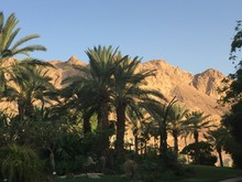 Palm Trees By Mountains Against Clear Sky At Ein Gedi