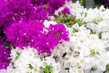 Violet Bougainvillea Flower. B...