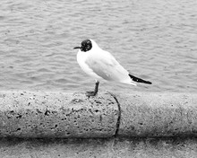 Black-headed Gull Perching On Retaining Wall Against Sea