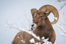 Bighorn Ram, Glenwood Springs,...