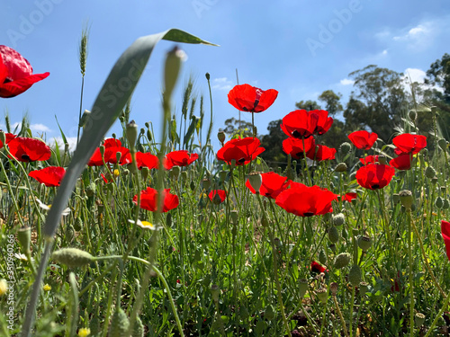 Fototapeta Spring flowering poppies (lat.- papaver) on the sky background obraz na płótnie