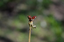A Small Red Ladybug Spread Its...