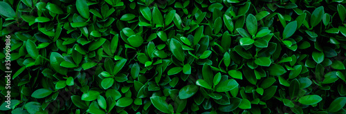 closeup nature view of green leaf in garden, dark wallpaper concept, nature banner background, tropical leaf
