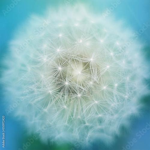 Obraz Kompozycja makro zbliżenie dmuchawca na błękitnym tle - fototapety do salonu