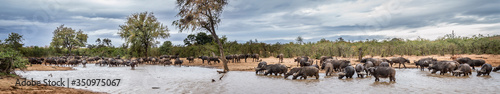 Fotografia, Obraz African buffalo herd drinking in lake in Kruger National park, South Africa ; Sp
